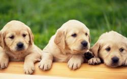 Wallpaper Details. File Name: Yellow Labrador Puppies ...
