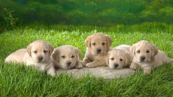 labrador retriever puppies 660x371 Yellow Labrador Retriever Puppies
