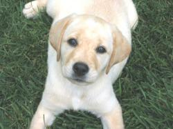 These Yellow Lab pictures are taken under the table around the pool at my parents house.