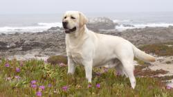yellow-labrador-retriever-among-ice-plant-california