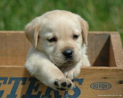 Yellow Labrador Puppies 2400