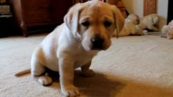 Yellow Labrador Retriever Puppies playing 6 weeks CUTE explosion (Buc~A~Buc Farm)