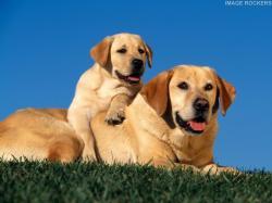 ... Yellow Labrador Dog Yellow ...