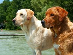 """The Lab's coat should be short and dense, but not wiry. Yellow and """"fox red"""" Labrador Retriever."""