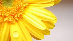 Yellow Macro Gerberas