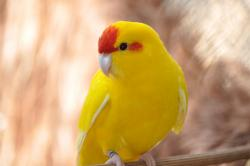 Yellow Parrot by barbarabm on DeviantArt