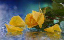 Yellow rose water