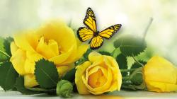 Yellow Roses Hd Wallpapers