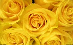 Yellow Roses Blossom Hd Wallpaper Source