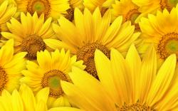 Sunflower Lot Of Yellow Wallpapers For Mac