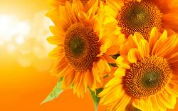 Yellow sunflowers hd