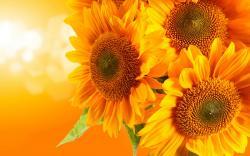 Yellow sunflowers hd