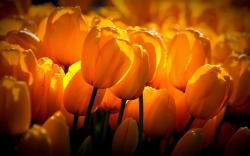Yellow tulips sunshine