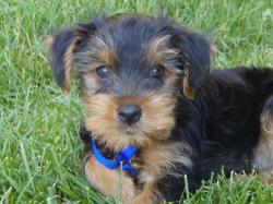 Although a small, pretty looking dog, the Yorkshire Terrier has many qualities that are unknown to those who have not researched the breed. Yorkies are bold ...