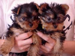 ... into consideration the 'teacup' Yorkie, you'll want to read through to a number of the dilemmas you can expect with this specific tremendous tiny dog.