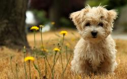 ... Yorkshire Terrier breed info