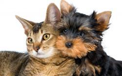 yorkshire terrier 201238