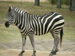 ... zebra and the Upper Zambezi species are the same, but eventually, scientists discovered that there are only minor differences between those species, ...