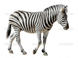 Isolated of profile Burchell zebra walking in the white background — Photo by Christian