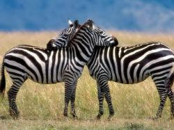 Most zebras live in open places where there is not much place to hide. Therefore, they need to be able to move very quickly in order to survive.