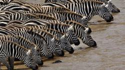 Watering Zebras