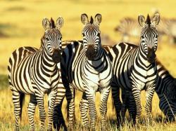 animal, zebras, africa-zebra, zebra, animal-photos, pictures,