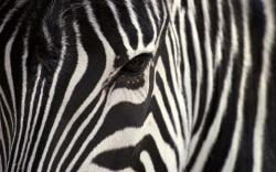 Astounding Zebra Wallpaper