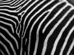 Animal Print Zebra Skin Phone Desktop Wallpaper