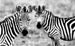 Download Full HD Wallpapers absolutely free for your desktop pc, laptop desktops. Zebra Wallpaper