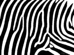 Accessories, : Magnificent Images Of Black And White Zebra Wallpaper For Home Interior Wall Decoration
