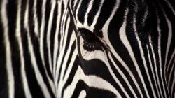 Zebra Wallpapers 1920×1080