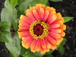 Yellow Flame' (Zinnia elegans 'Zowie! Yellow Flame'