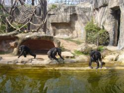 Chimps at Barcelona Zoo